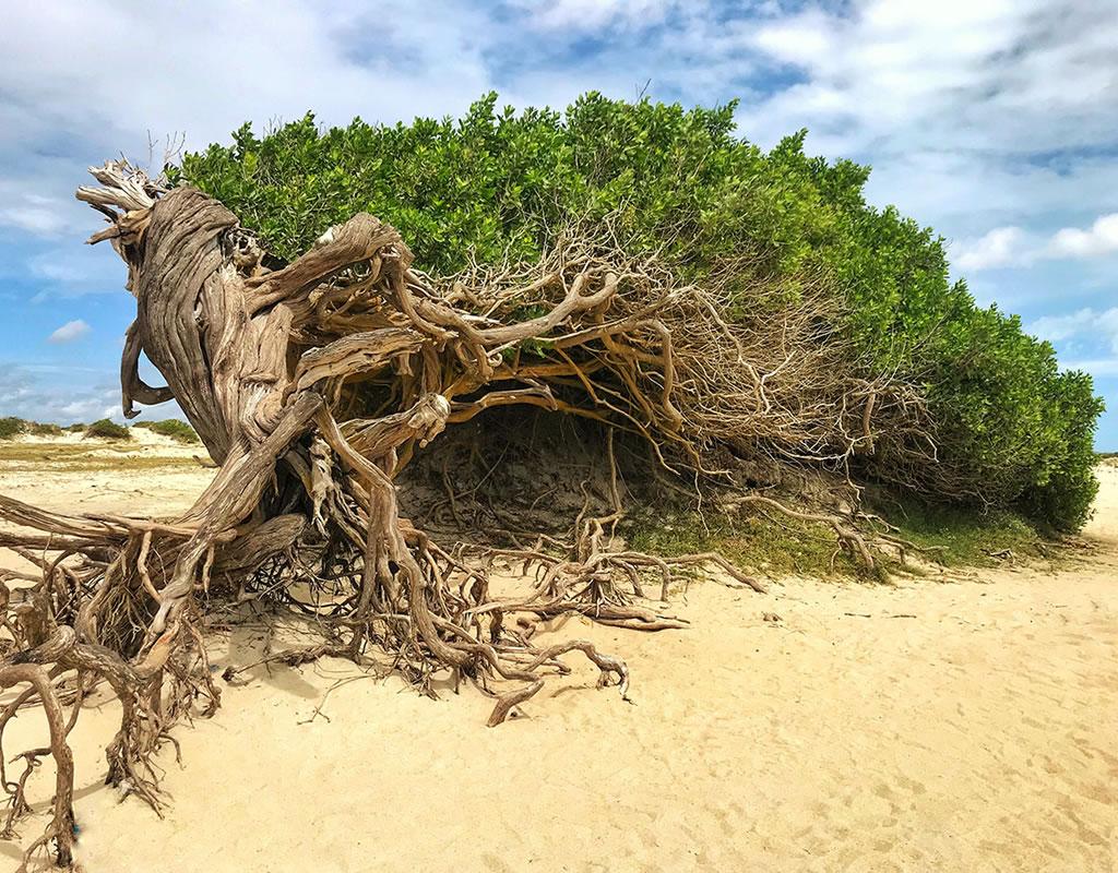 arbore da preguiça