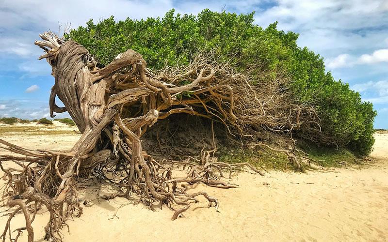 Arbore da Preguiça - Jericoacoara